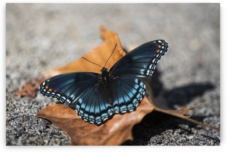 Red-spotted Butterfly (Limenitis arthemis) soaks up the sunlight; Vian, Oklahoma, United States of America by PacificStock
