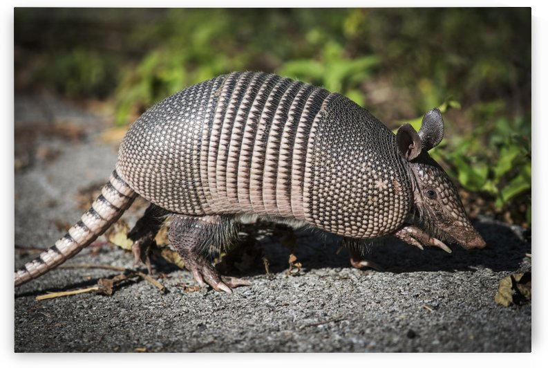 Armadillo crosses the trail; Vian, Oklahoma, United States of America by PacificStock