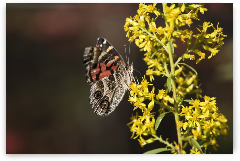 Painted Lady Butterfly (Cynthia) feeds on goldenrod; Tahlequah, Oklahoma, United States of America by PacificStock