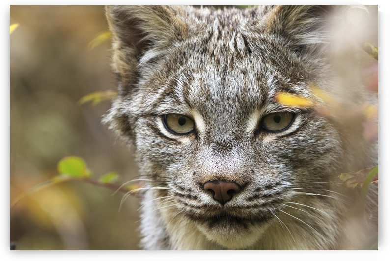 Canadian Lynx (Lynx canadensis) walking through the underbrush; Yukon, Canada by PacificStock