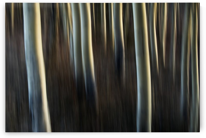 Artistic view of aspen trees using a vertical panning technique; Carcross, Yukon, Canada by PacificStock