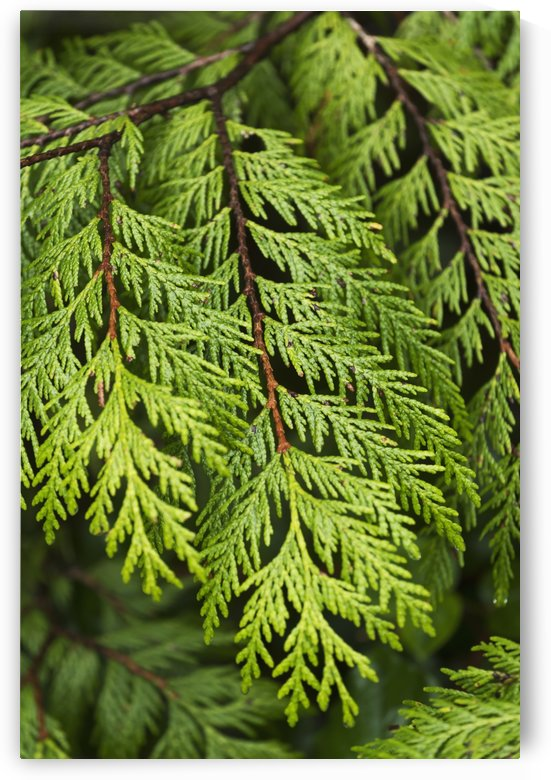 Close up of lush green plant; Vancouver, British Columbia, Canada by PacificStock