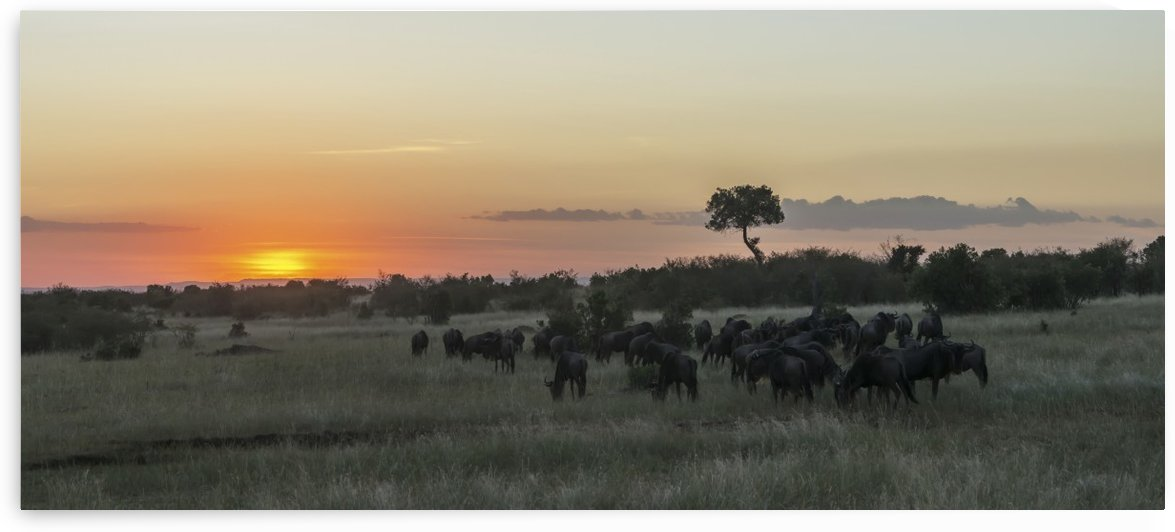 A herd of wildebeest (Connochaetes taurinus) migrates on the African savannah as the sun goes down in an orange glow, a single acacia tree stands out on the horizon; Narok, Kenya by PacificStock