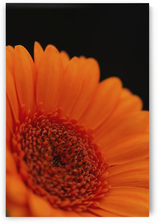 Close up of the centre of an orange gerbera with the petals slightly out of focus against a black background; London, England by PacificStock