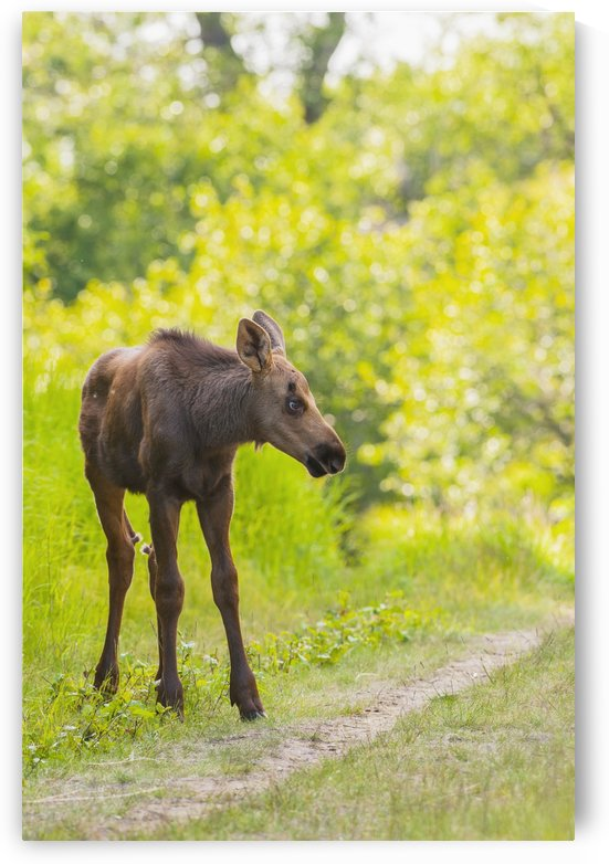 Moose calf in Kincaid Park, Anchorage, Southcentral Alaska, summer by PacificStock