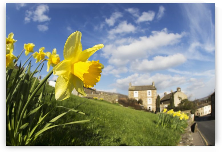 Yellow daffodils in blossom with houses in the distance; Yorkshire Dales, England by PacificStock