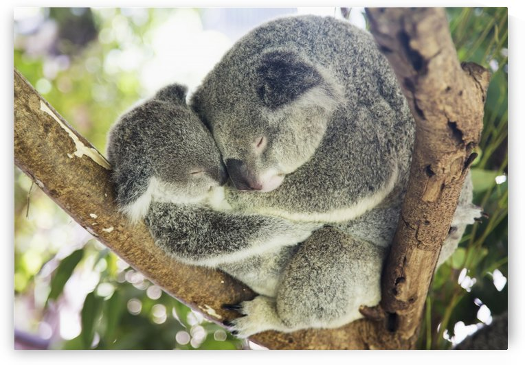 Mother and baby koala bears (Phascolarctos cinereus) cuddled up in a tree; Noosa, Queensland, Australia by PacificStock