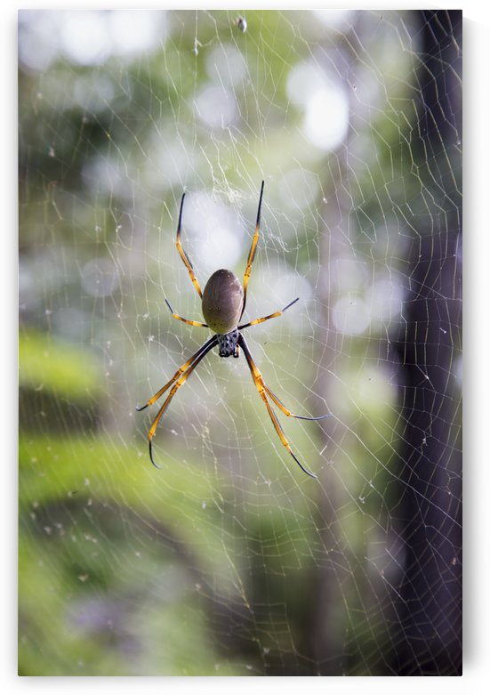Spider in a web; Noosa Heads, Queensland, Australia by PacificStock