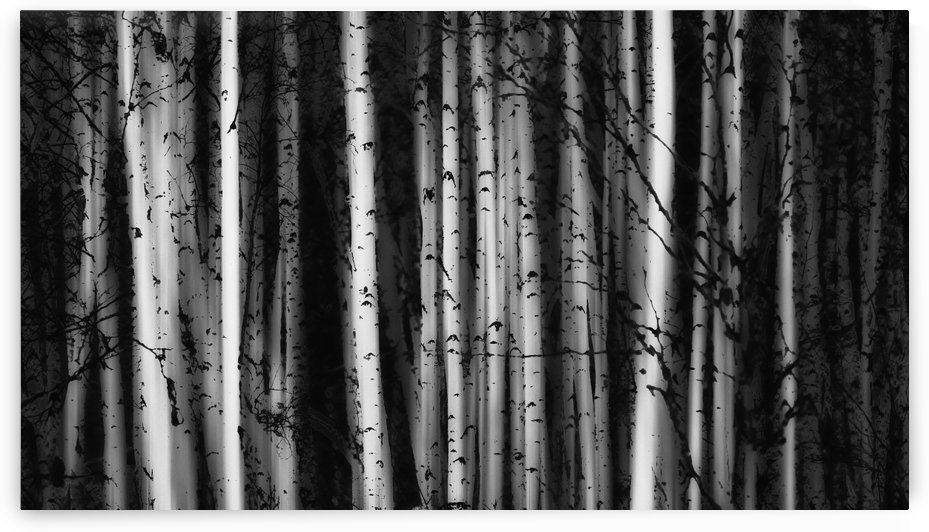 Forest of birch trees; Alberta, Canada by PacificStock