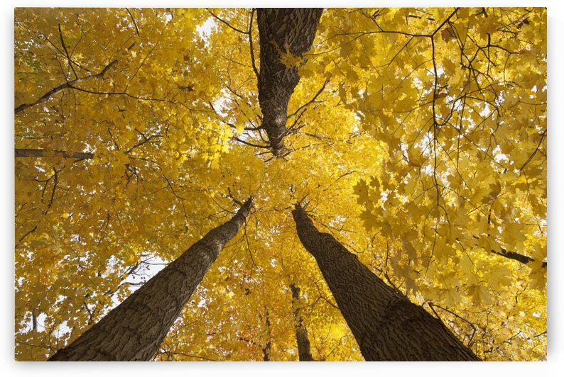Low angle view of golden leaves on a tree in autumn; Brampton, Ontario, Canada by PacificStock
