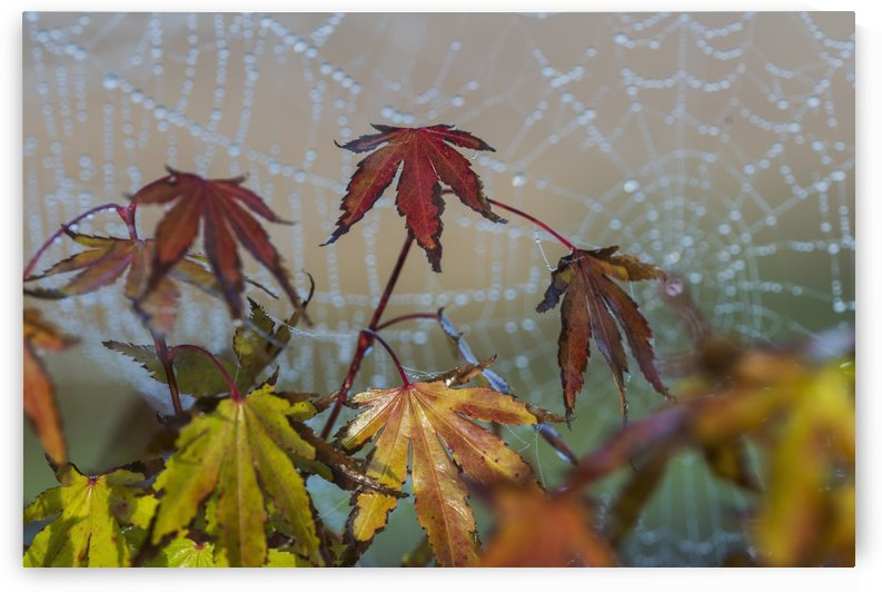 Japanese Maple leaves take on autumn colours with a spiderweb covered in water droplets in the background; Astoria, Oregon, United States of America by PacificStock