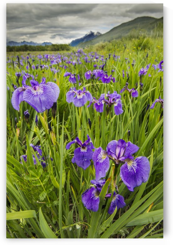 Patch of wild irises on the Eklutna Flats with a view of Pioneer Peak in the background. by PacificStock
