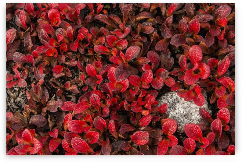 Patch of Bearberries at peak fall colors at Finger Mountain along the Dalton Highway, Alaska. by PacificStock