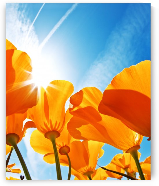 Field of Flowers with Blue Sky, Macro View by PacificStock