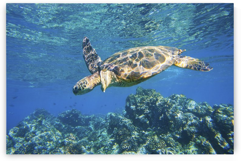 green sea turtle swimming in ocean sea by PacificStock