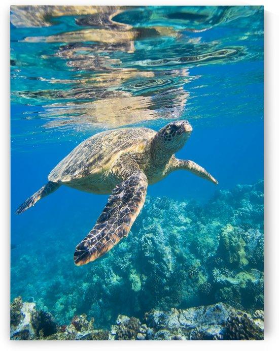 green sea turtle swimming in ocean sea by PacificStock