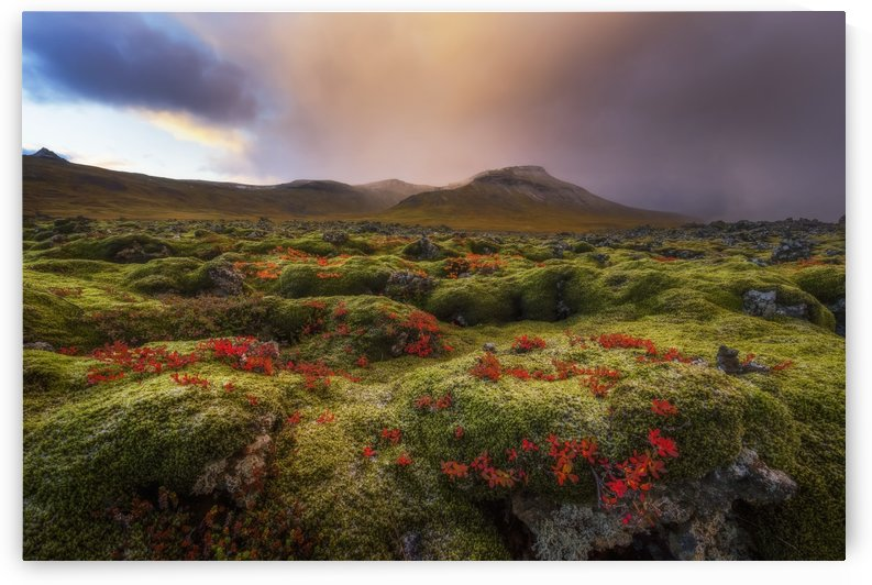 Moss covered lava field at sunrise, Snaefellsness Peninsula; Iceland by PacificStock