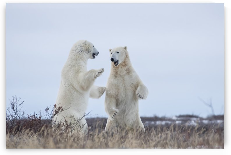 Polar bears sparring on the coast of Hudson Bay; Manitoba, Canada by PacificStock