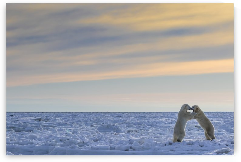Polar bears (ursus maritimus) sparring on the coast of Hudson Bay; Manitoba, Canada by PacificStock