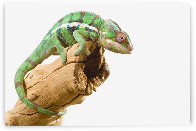Colourful Panther Chameleon (Furcifer pardalis) on a white background; St. Albert, Alberta, Canada by PacificStock