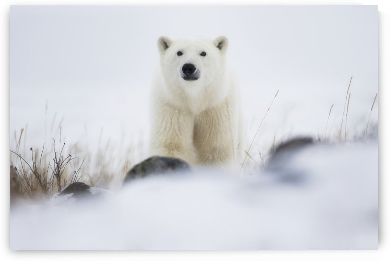 Polar bear (ursus maritimus) in a blizzard; Churchill, Manitoba, Canada by PacificStock