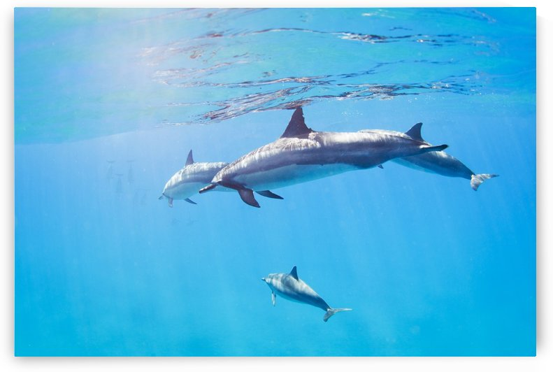 dolphins swimming underwater, tropical ocean by PacificStock