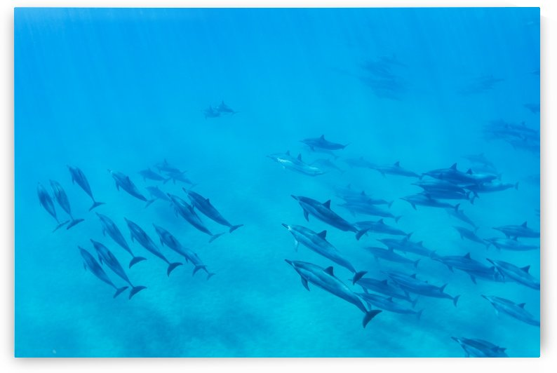 Dolphins Swimming in the Ocean, Amazing Underwater View by PacificStock