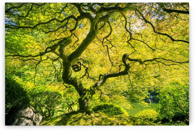 Amazing Green Japanese Maple Tree, Nature Garden by PacificStock