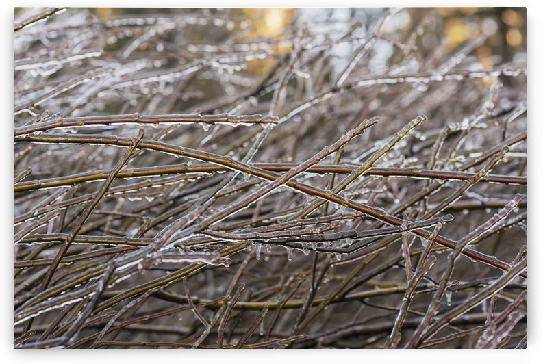 Ice freezes on willow branches; Olney, Oregon, United States of America by PacificStock