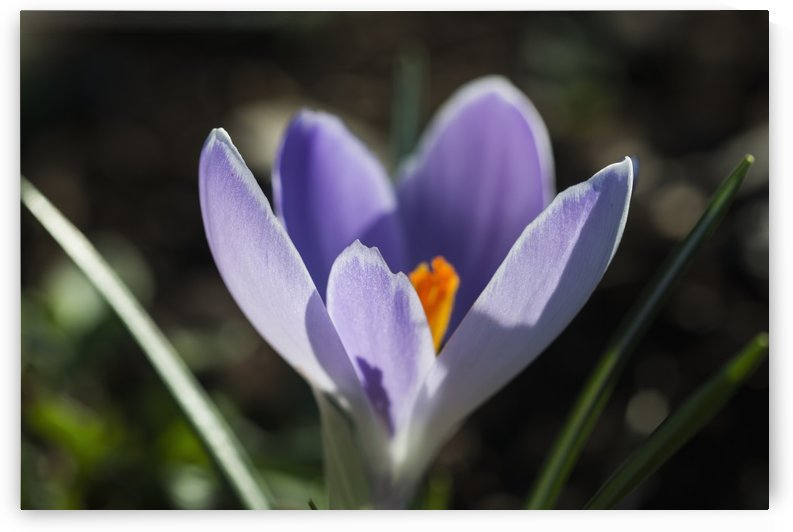 A crocus blooms in the garden; Astoria, Oregon, United States of America by PacificStock
