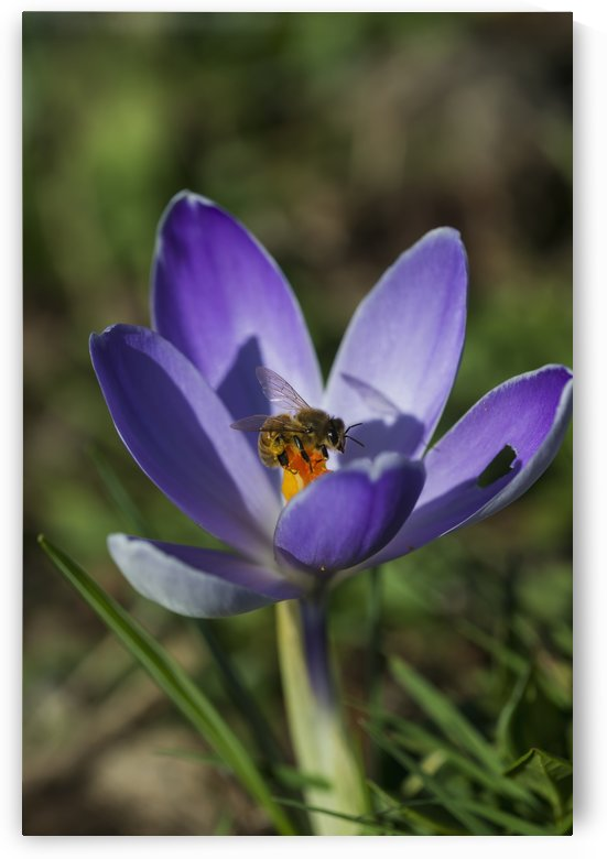An insect on a crocus blooming in the garden; Astoria, Oregon, United States of America by PacificStock