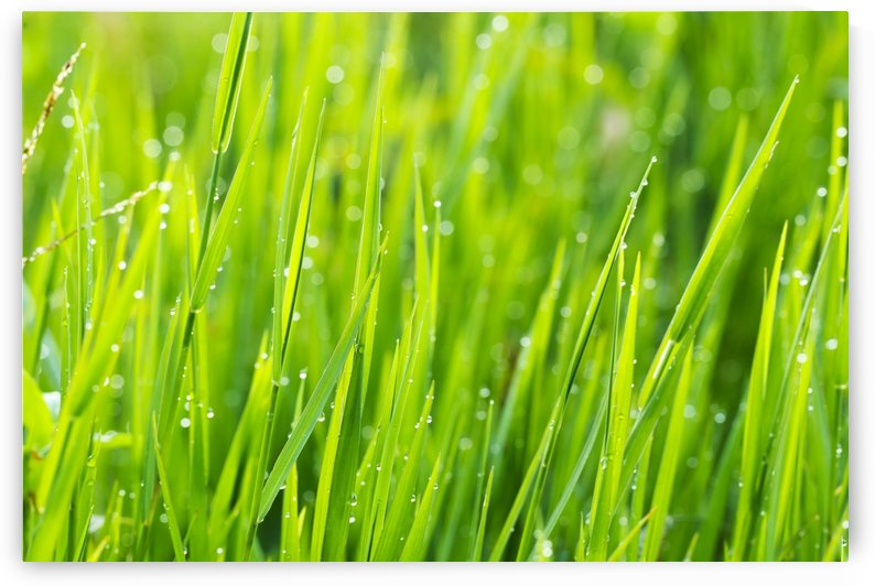 Close up of fresh grass with water drops in the early morning by PacificStock