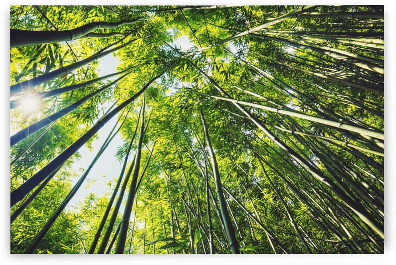 Bamboo forest with morning sunlight by PacificStock