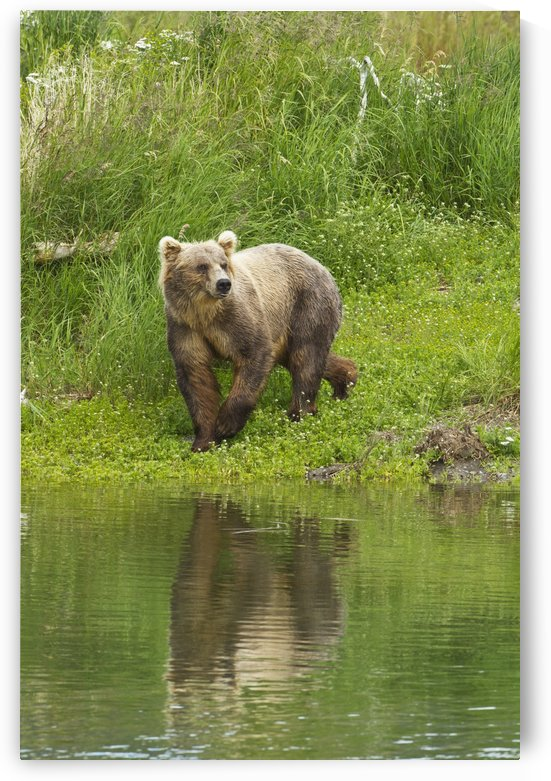 Brown bear (Ursus arctos) walking on vegetated bank of Brooks River while fishing for sockeye salmon, Katmai National Park and Preserve, Southwest Alaska by PacificStock