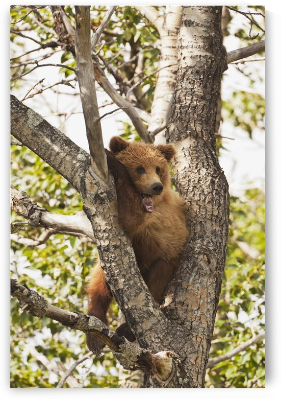 Brown bear (Ursus arctos) yearling cub, abandoned by mother, resting in cottonwood tree (Populus balsamifera), Katmai National Park and Preserve, Southwest Alaska by PacificStock