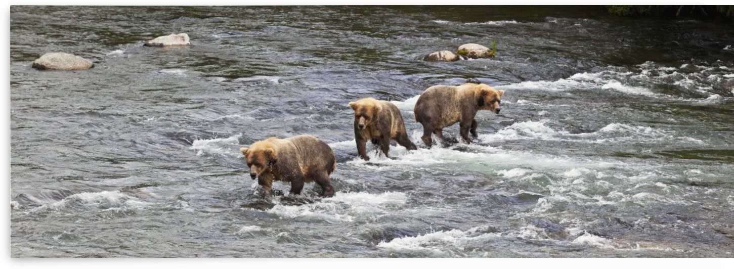 Four Brown bears (Ursus arctos) wade in Brooks River while fishing for Sockeye salmon, Katmai National Park and Preserve, Southwest Alaska by PacificStock