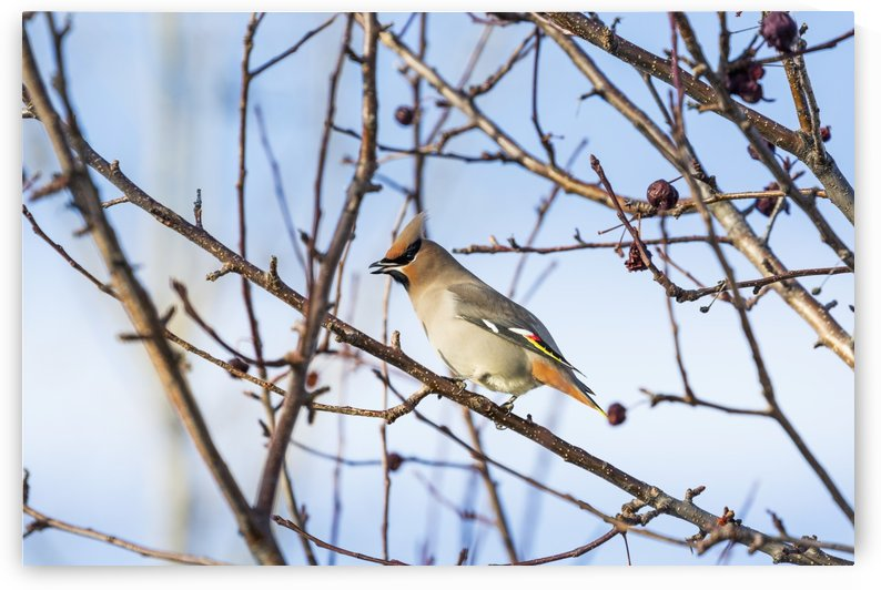 Close up of a Cedar Waxwing (Bombycilla cedrorum) bird on a bare branch of a crab apple tree with blue sky in the background; Calgary, Alberta, Canada by PacificStock