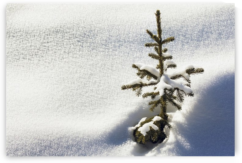 Close up of a small snow covered evergreen tree surrounded by crystal snow and shadows; Lake Louise, Alberta, Canada by PacificStock