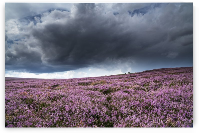 Pink flowers blossoming in a field, North Yorkshire Moors; North Yorkshire, England by PacificStock