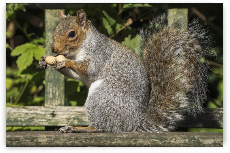 Squirrel holding a shelled peanut; Gateshead, Tyne and Wear, England by PacificStock