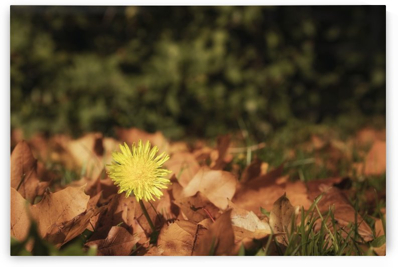 Yellow dandelion blossoming through fallen autumn leaves; Gateshead, Tyne and Wear, England by PacificStock