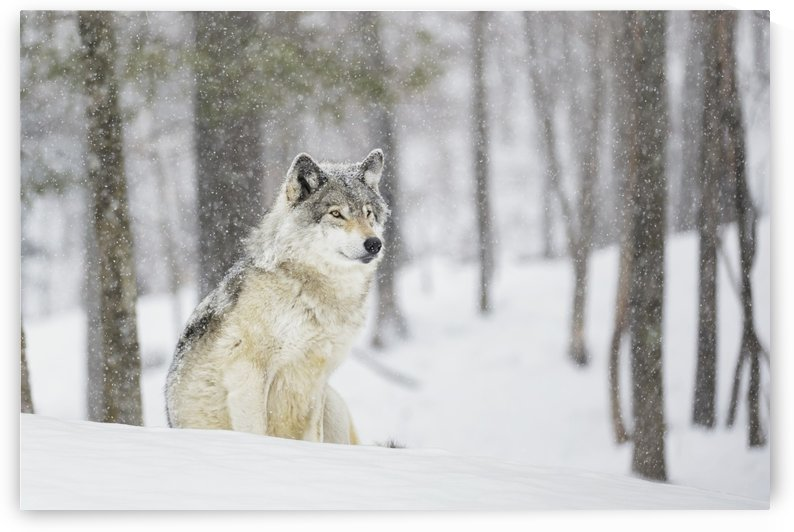 A wolf sitting in a snowfall in a forest by PacificStock