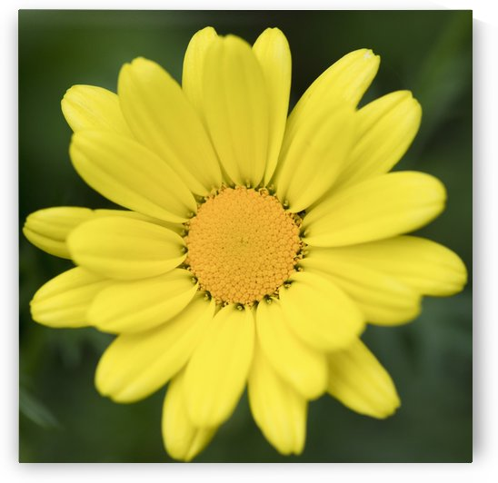 Close up of a flower with bright yellow petals and centre; Ontario, Canada by PacificStock