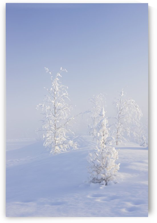 Scenic view of Birch trees in fog at sunrise, North Pole, Interior Alaska, Winter by PacificStock