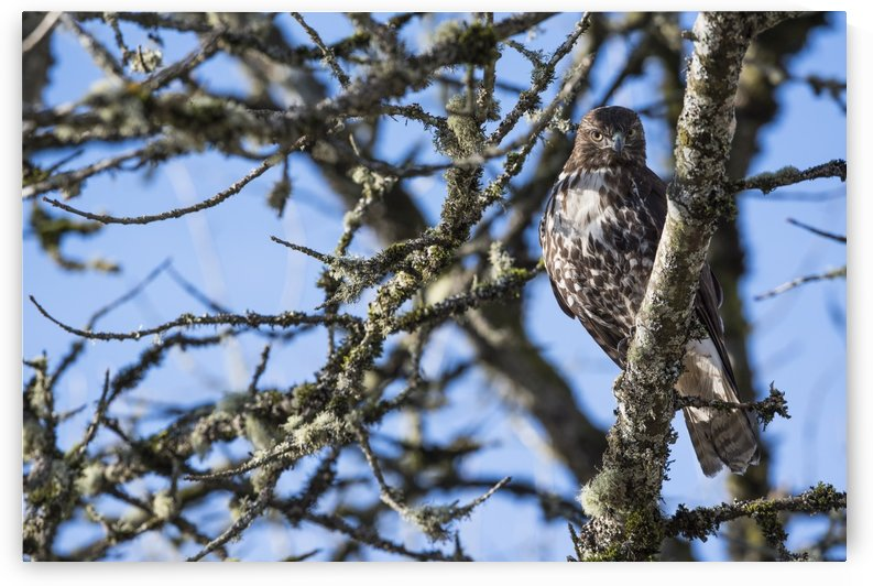 A young Red-tailed Hawk watches for movement in the grass below; Ridgefield, Washington, United States of America by PacificStock
