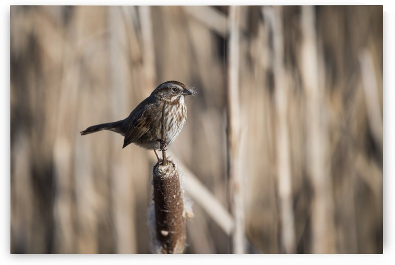 A Song Sparrow (Melospiza melodia) perches on a cattail; Ridgefield, Washington, United States of America by PacificStock