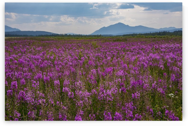 Fields of Fireweed on a summer day in Coldfoot, Alaska by PacificStock