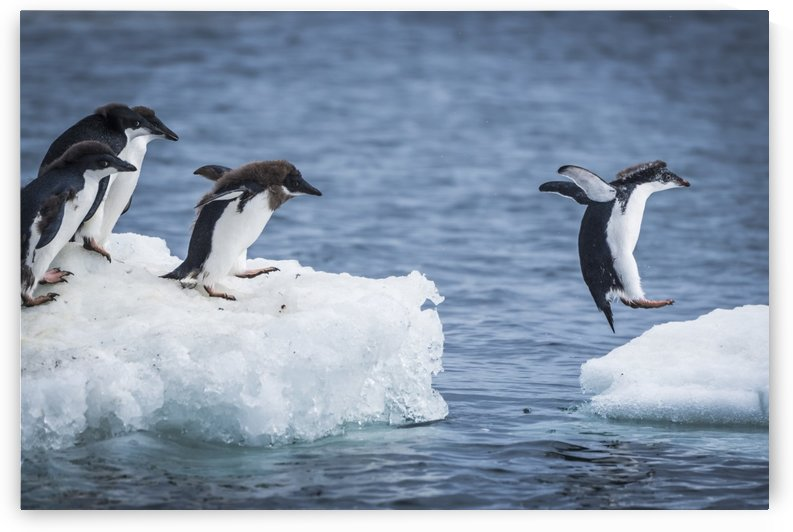 Adelie penguins (Pygoscelis adeliae) diving between two ice floes; Antarctica by PacificStock