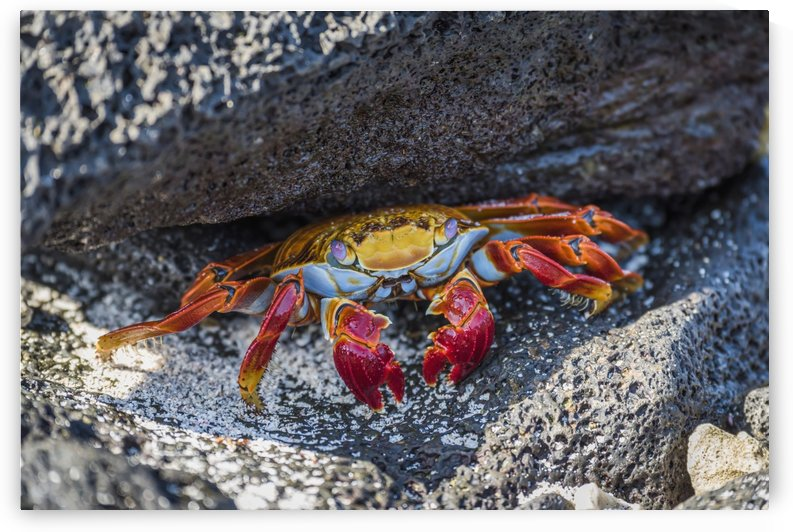 Adult Sally Lightfoot crab (Grapsus grapsus) under grey rock; Galapagos Islands, Ecuador by PacificStock