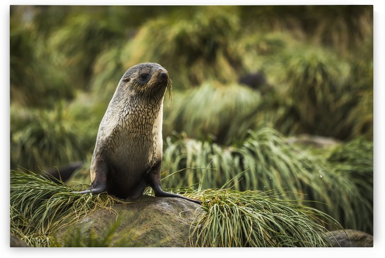 Antarctic fur seal (Arctocephalus gazella) in rocky tussock grass; Antarctica by PacificStock